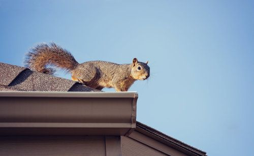 Grey squirrel about to enter the attic