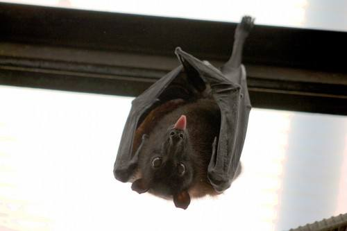Close-up of a bat hanging upside down sticking out its tongue