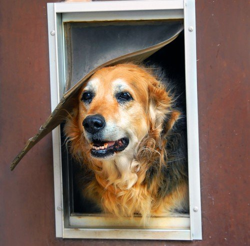 Big dog putting his head out of an installed doggy door