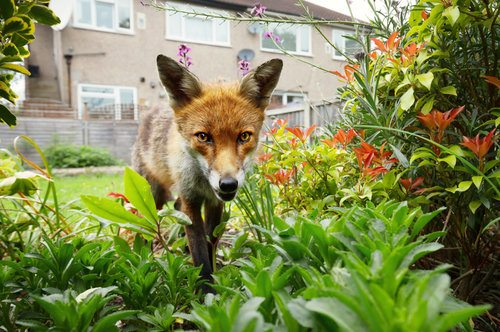 Red fox in the garden of a house next to some flowers