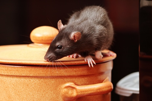 Mouse on top of a pot in a kitchen that is going to be exterminated
