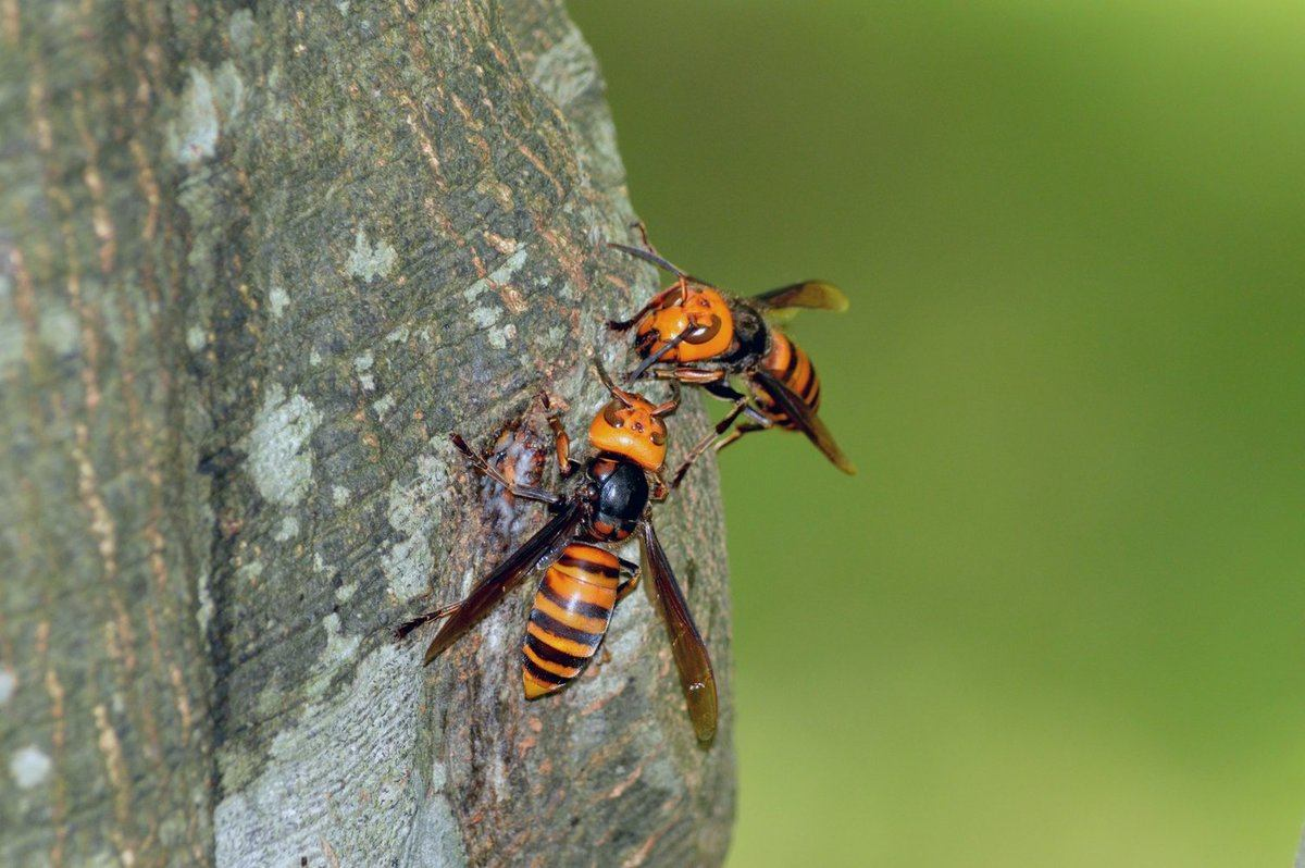 Murder hornets on a tree