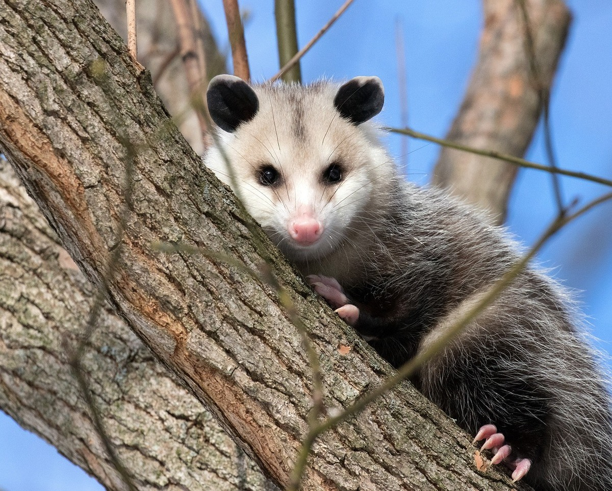 Possum on a tree branch