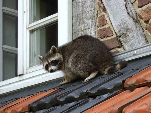 Scared raccoon on the roof about to be removed by a pest removal service