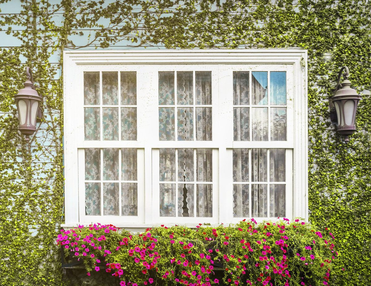 White double-hung windows covered with ivy