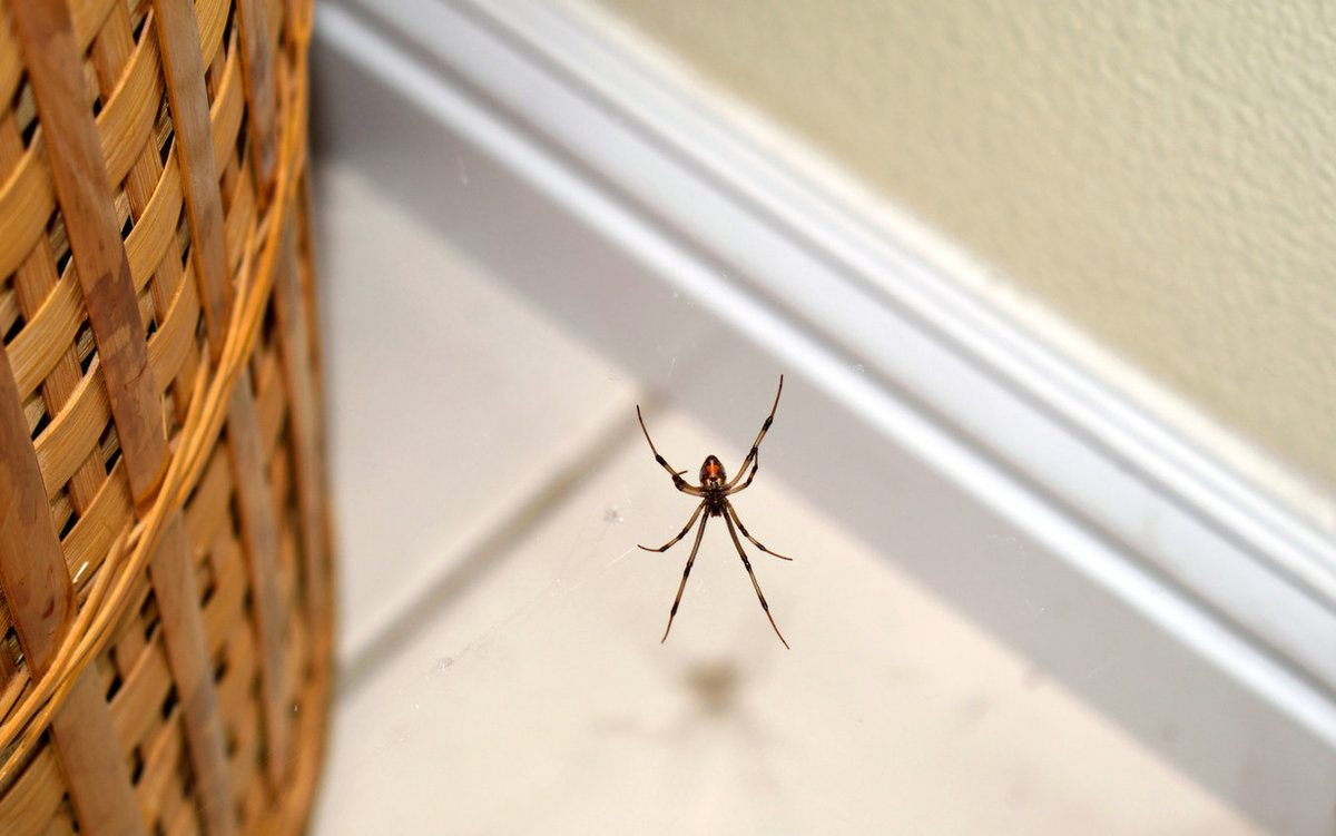 A snapshot of a brown widow spider hanging on its web near a basket inside a home
