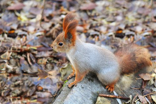 Pine reddish squirrel in the woods