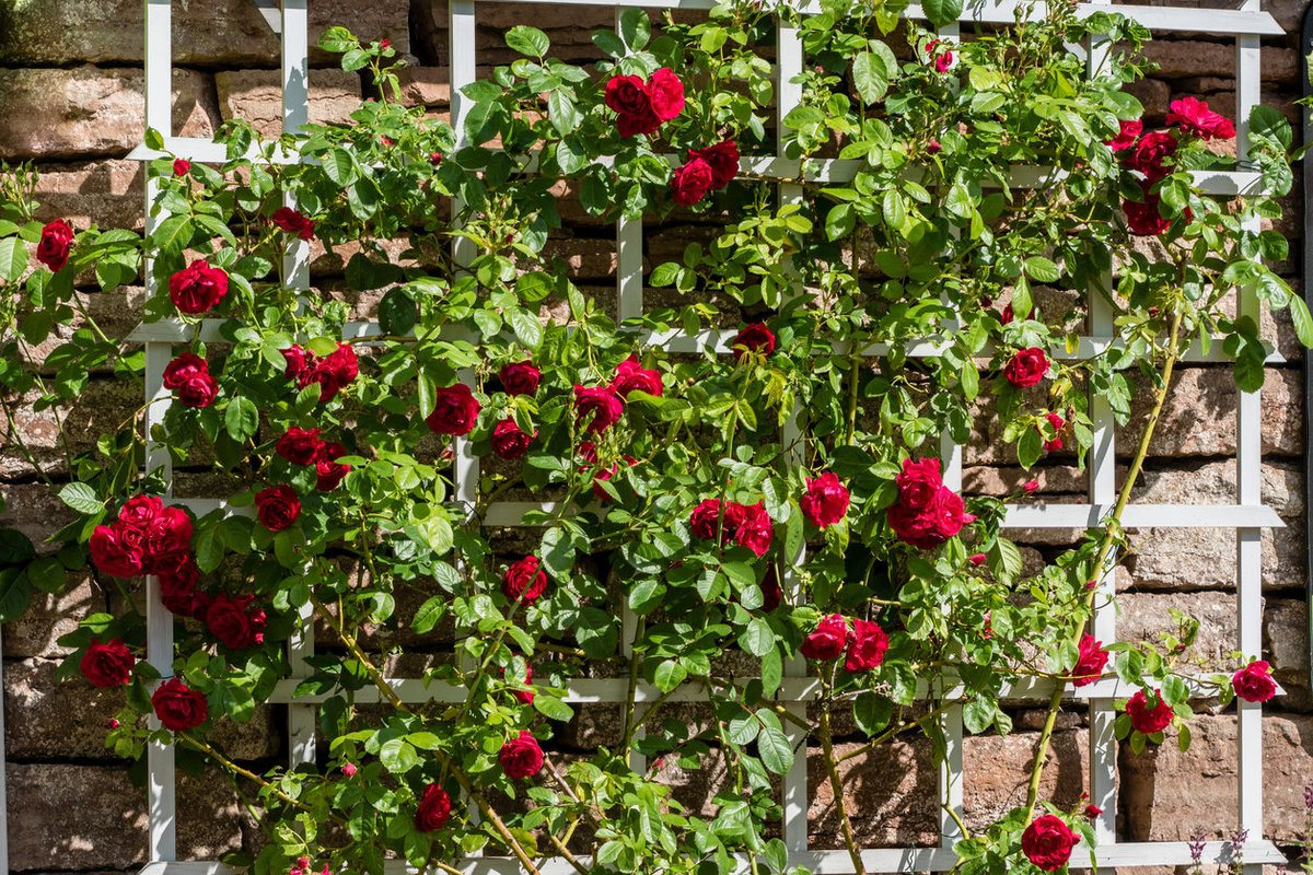 Bush of red roses growing on a white trellis