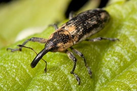 glossary term picture Weevil
